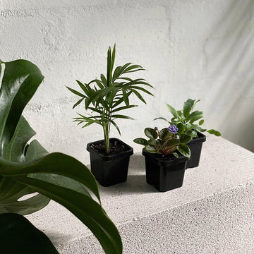 Tropical Babies - THE PLANT SOCIETY ONLINE OUTPOST