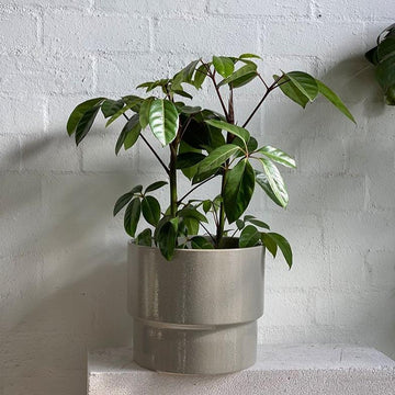 Umbrella Tree (Schefflera amate) - THE PLANT SOCIETY ONLINE OUTPOST