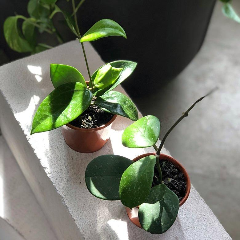 Wax Plant (Hoya) - THE PLANT SOCIETY ONLINE OUTPOST