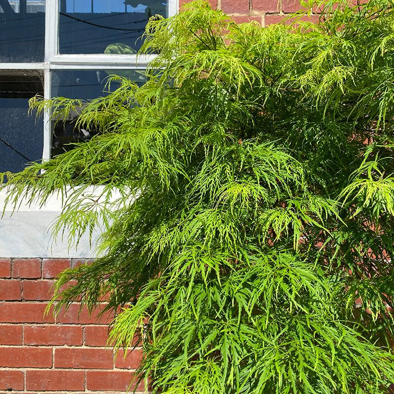 Weeping Maple with Green Foliage (Acer palmatum 'Dissectum Inaba Shidare')