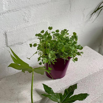 Coriander - THE PLANT SOCIETY ONLINE OUTPOST