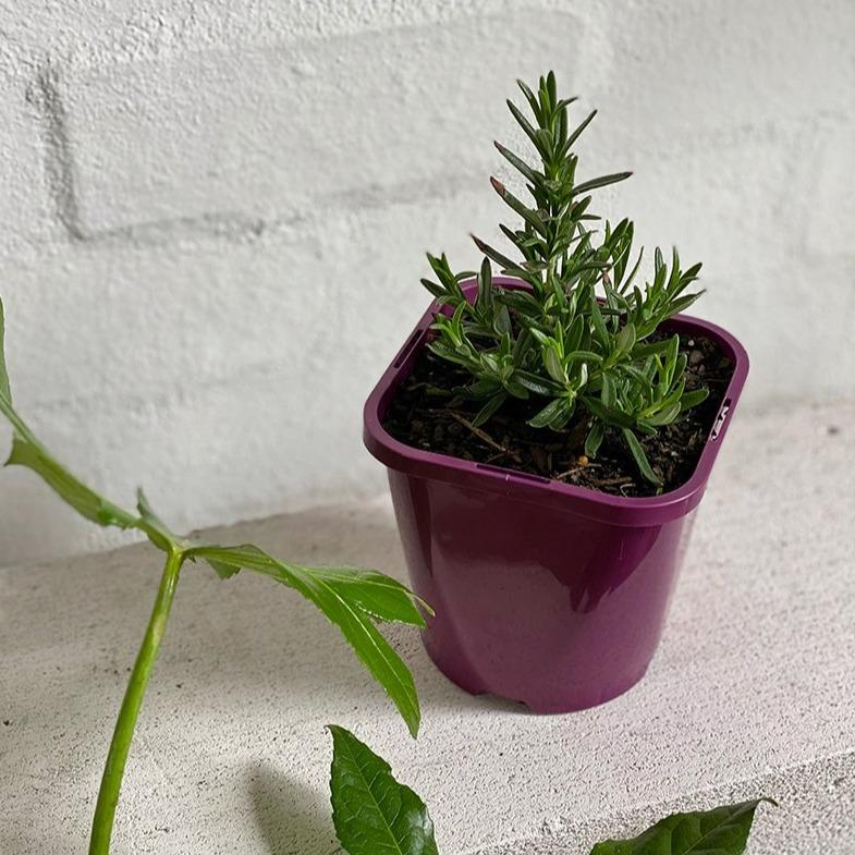 Rosemary - THE PLANT SOCIETY ONLINE OUTPOST