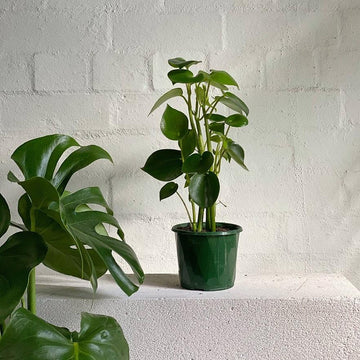 Coin Leaf Peperomia - Indoor Plant - House Plant at The Plant Society