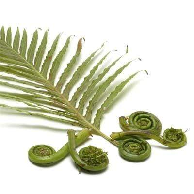Image of  Fiddlehead Fern Other