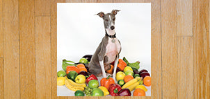 SHELLAC Excellent Italian Greyhound