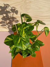Load image into Gallery viewer, Epipremnum aureum - Gold Pothos