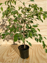 Load image into Gallery viewer, Weeping Fig - Ficus benjamina