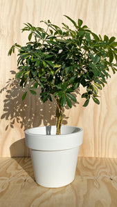 Lollipop Dwarf Umbrella Tree Hire