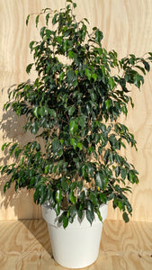 Ficus Tree Hire