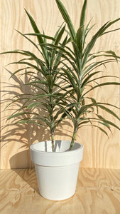 Large Dracaena Plant Hire
