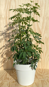 Dwarf Umbrella Tree Hire