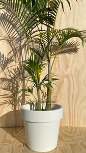 Golden Cane Palm Tree Hire