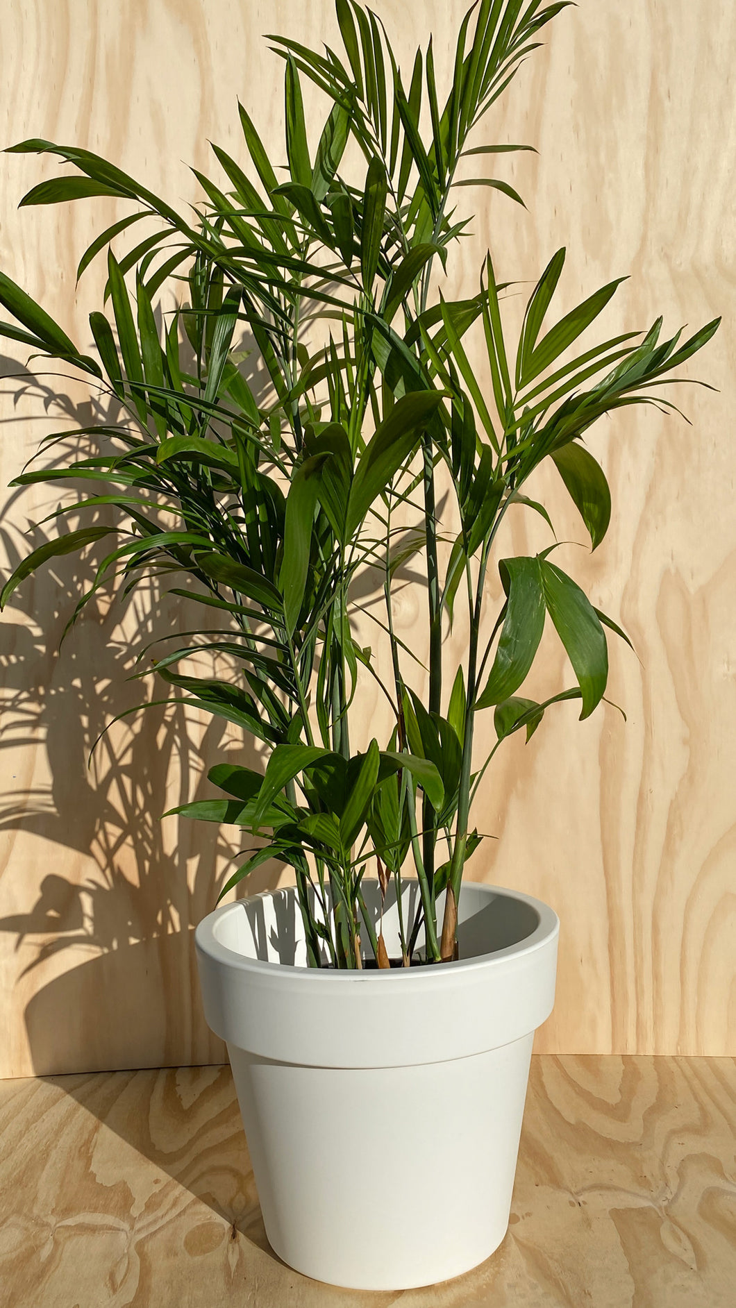 Bamboo Palm Hire