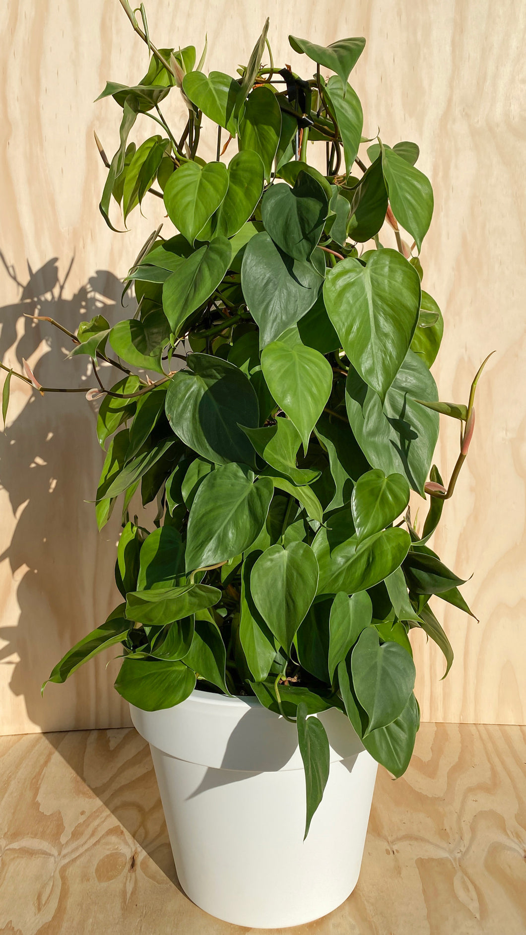 Heart Leaf Philodendron Plant Hire