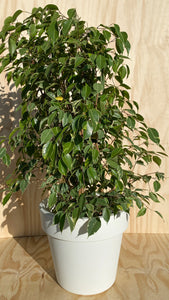 Variegated Ficus Tree Hire