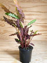 Load image into Gallery viewer, Calathea rufibarba - Furry Feather Calathea