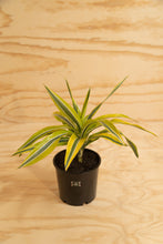 Load image into Gallery viewer, Lemon Lime - Dracaena fragrans
