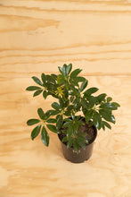 Load image into Gallery viewer, Dwarf Umbrella Tree - Schefflera arboricola