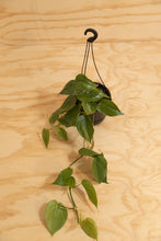 Load image into Gallery viewer, Heart-Leaf - Philodendron cordatum