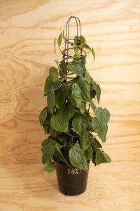 Heart-Leaf - Philodendron cordatum