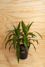 Load image into Gallery viewer, Janet Craig - Dracaena fragrans
