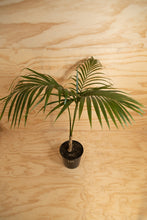 Load image into Gallery viewer, Kentia Palm - Howea forsteriana