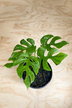 Load image into Gallery viewer, Rhaphidophora tetrasperma - Mini Monstera - Philodendron Minima