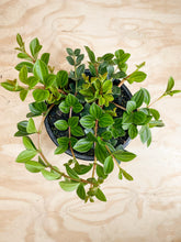 Load image into Gallery viewer, Peperomia angulata