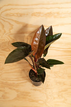 Load image into Gallery viewer, Philodendron Red Congo
