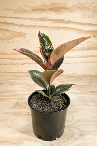 Ruby Rubber Tree - Ficus elastica