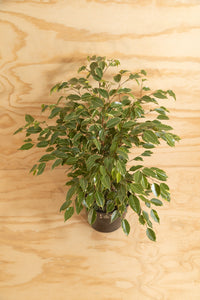 Weeping Fig - Ficus benjamina