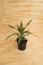 Load image into Gallery viewer, Warneckii - Dracaena fragrans