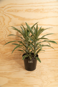 Warneckii - Dracaena fragrans