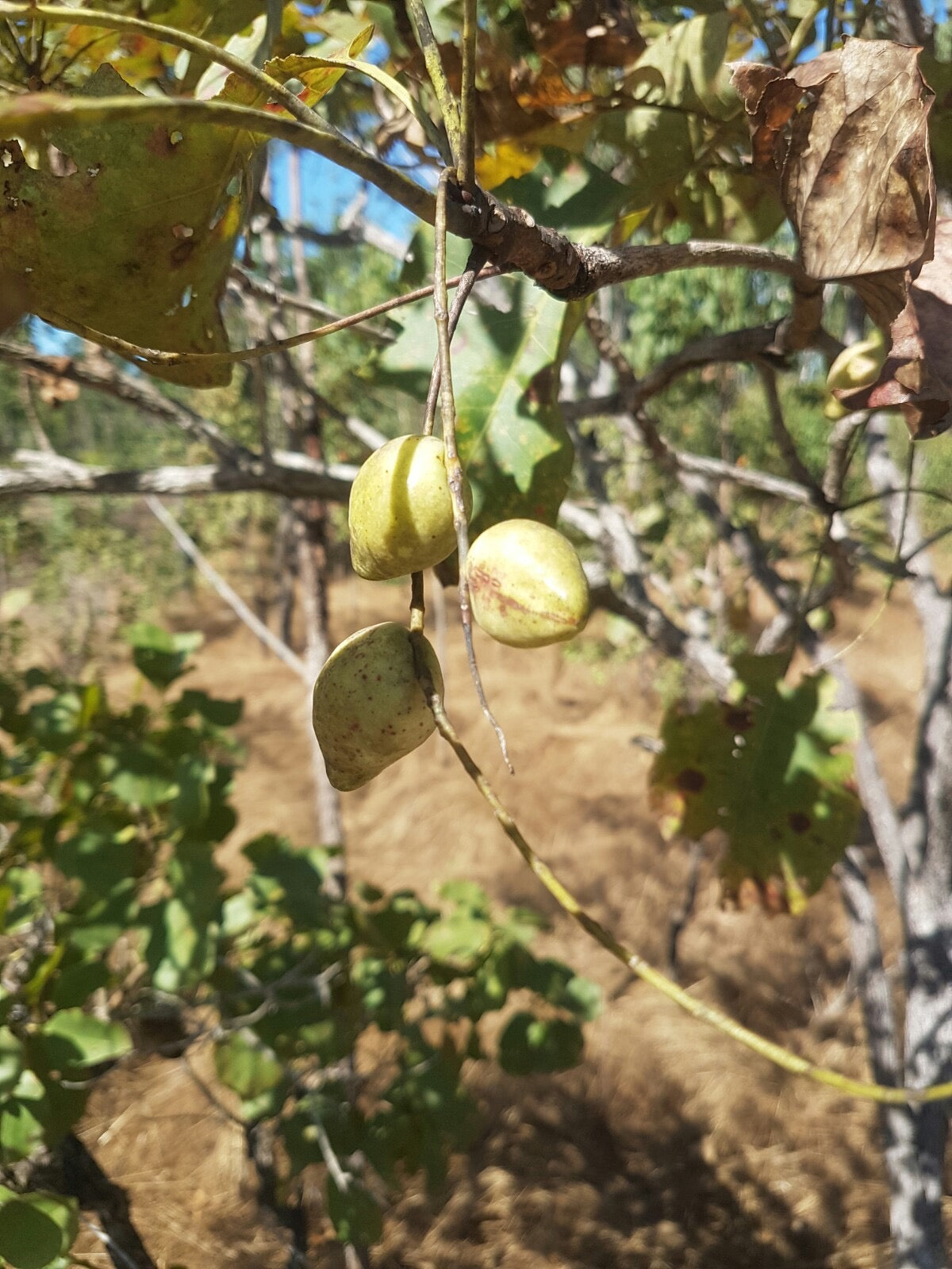HEALTH BENEFITS OF KAKADU PLUM FRUIT