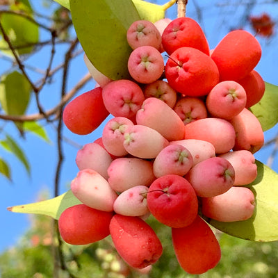 Riberry Superfood Fruit