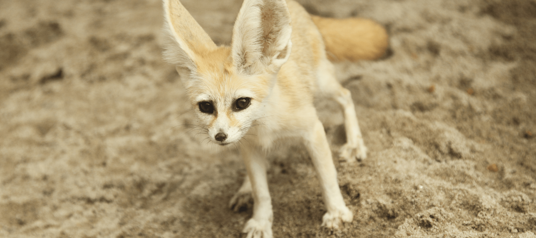 Trace Fennec