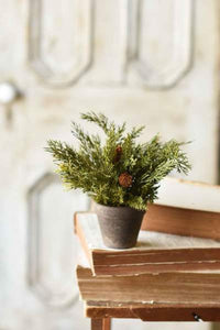 Alpine Potted Cedar