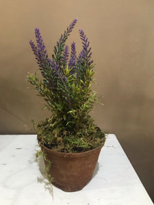 Grubby Potted Lavender