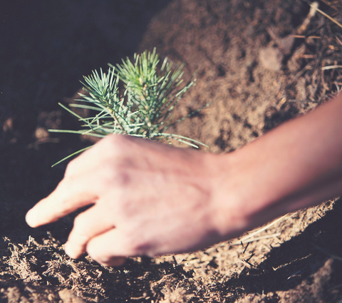 Hand putting down a sapling into the ground