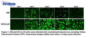 Figure 1. Sf9 and VE-CL-03 cells were infected with recombinant baculovirus encoding Yellow Fluorescent Protein (YFP). Fluorescent images (200x) were taken 1-5 days post infection.