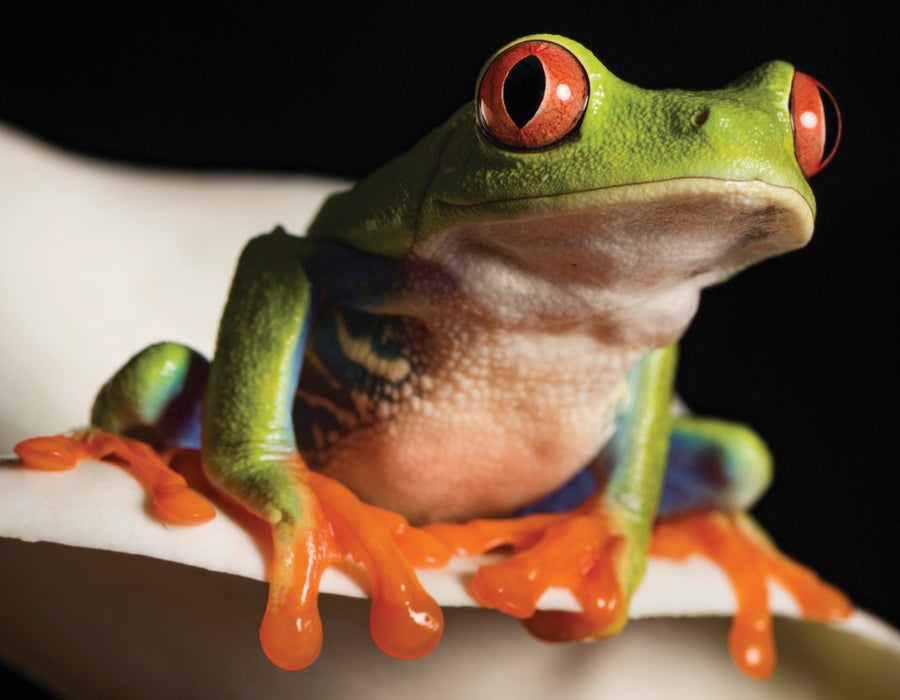 Red Eyed Tree Frog Mini