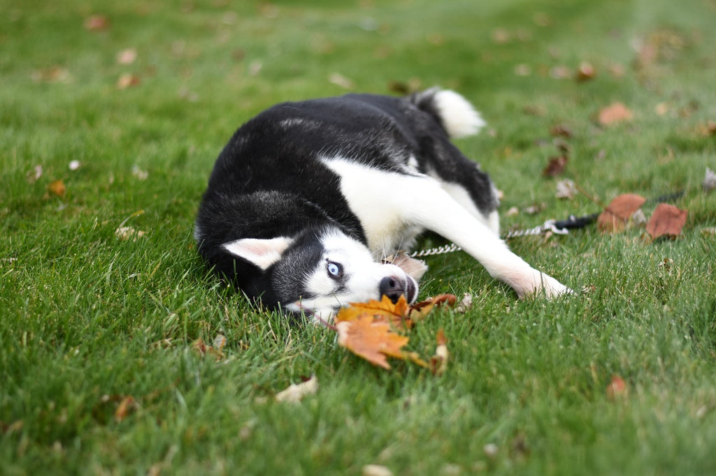 Is eating grass bad for dogs?