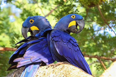 The hyacinth macaw is just one of the hundreds of spectacular species found in the Pantanal