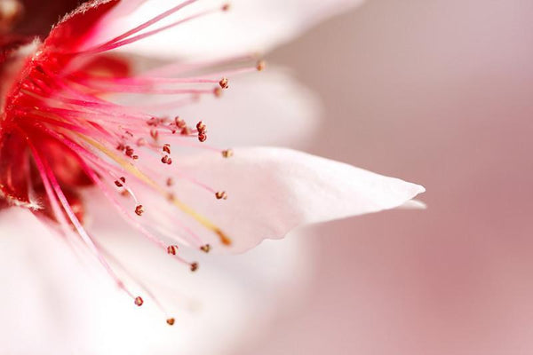 Beautiful cherry flower Wall Mural-Florals,Macro,Featured Category of the Month-Eazywallz