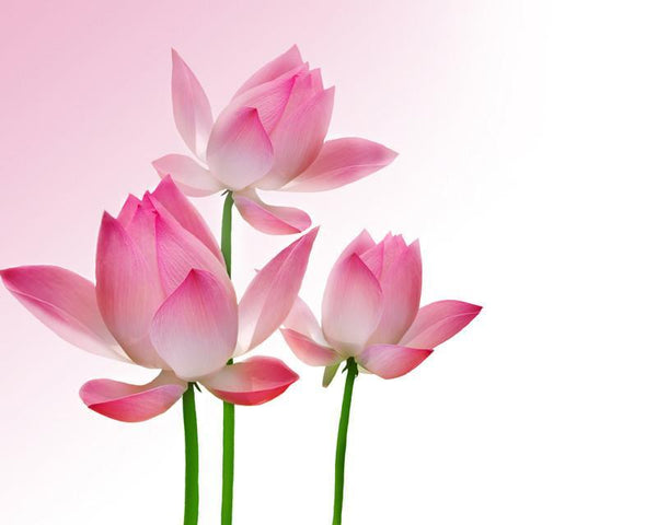 Beautiful lotus Wall Mural-Florals,Featured Category of the Month-Eazywallz