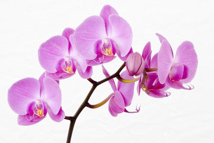 Beautiful orchid Wall Mural-Florals,Featured Category of the Month-Eazywallz