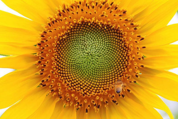 Beautiful sunflower Wall Mural-Florals,Macro,Featured Category of the Month-Eazywallz