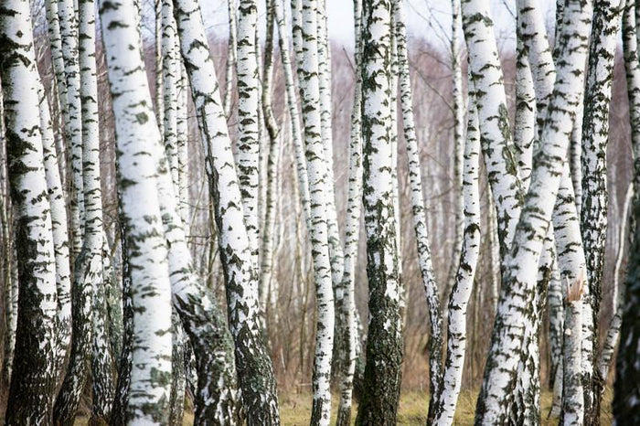 Birch forest Wall Mural-Landscapes & Nature-Eazywallz
