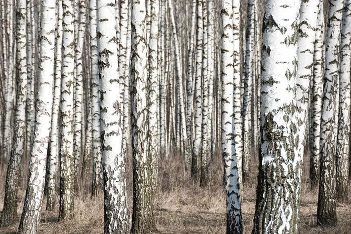 Birch trunks Wall Mural-Landscapes & Nature,Best Seller Murals-Eazywallz