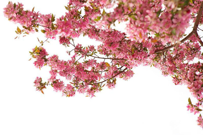 Cherry blossom in spring Wall Mural-Florals,Featured Category of the Month-Eazywallz